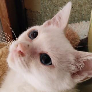 ブルーアイの白猫