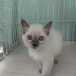 美猫3兄妹☆シャミーちゃん