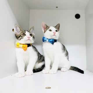 可愛い過ぎる子猫兄妹!【3ヵ月】大阪市