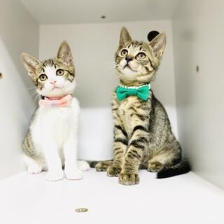 やんちゃ盛りの子猫兄妹!【3ヵ月】大阪市