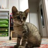 可愛くて人懐っこくて賢そうなキジのオスの子猫です
