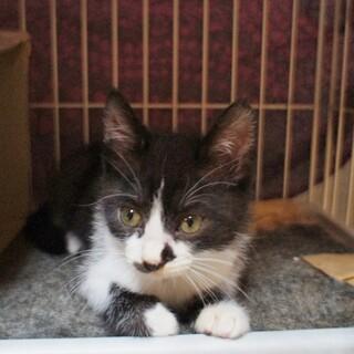 約2ヶ月の子猫の里親さんを募集します。