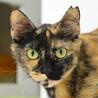 スタイル抜群の美しいサビ猫、モネ