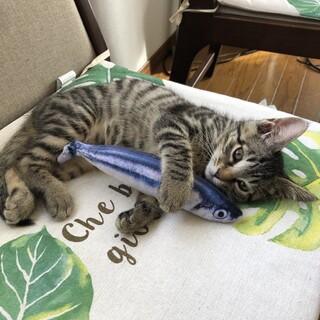 里親募集!生後3ヶ月の元気なメス猫ちゃん