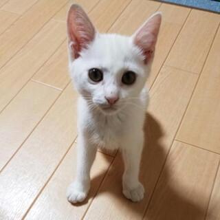 血液検査済(陰性)耳が聞こえない甘えん坊子猫
