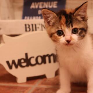 可愛い三毛猫♪ 女の子 3ヶ月位