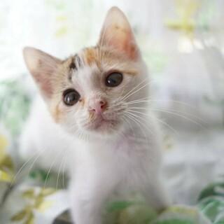 【ターコイズ】可愛らしさ抜群の白三毛ちゃん