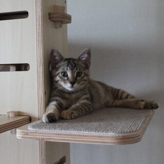 可愛いキジトラ☆ 紗(たえ)ちゃん 3ヵ月