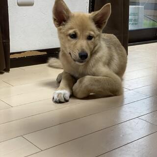 仔犬3ヶ月の女の子
