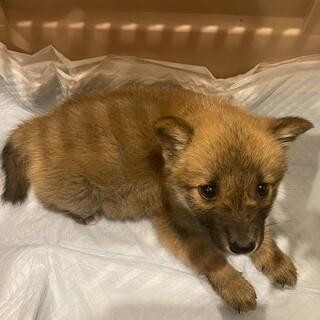 推定2ヶ月の中型雑種の子犬レオ♂