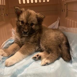 中型雑種の推定2ヶ月の子犬ミル♀