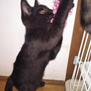 急募!黒猫の里親様募集しています