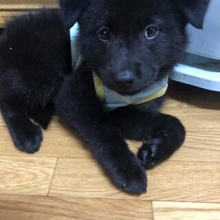 黒麻くん MIX子犬 2ケ月 男の子