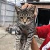 生後4ヶ月の仔猫です。