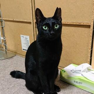 綺麗な黒猫女の子、おうちを探しています。