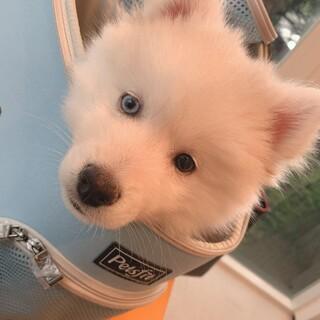 再募集!ハスキー犬 5ヶ月