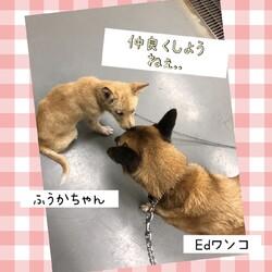 「福田犬のふうじ君&ふうかちゃん→どちらも譲渡決定!」サムネイル3