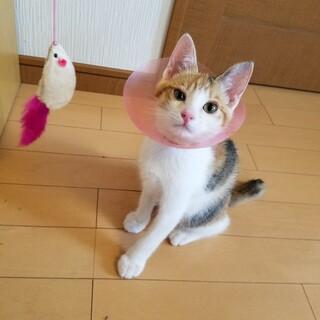 体が小さな淡い色の三毛猫です。