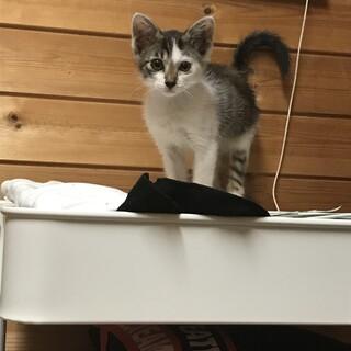 ♀検査陰性(猫白血病・猫エイズ)生後数ヶ月の子猫