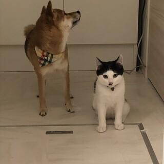 ぶちゃネコ