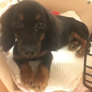約4ヶ月 ダックスよりのミックス犬女の子です。