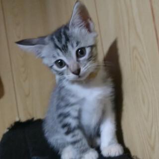 人懐こいサバトラ子猫のきーちゃん