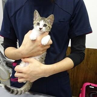 人慣れした2ヶ月の子猫です