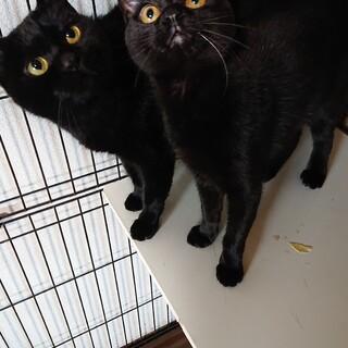 人懐こく穏やかな♀ ブラウンキジ2頭と黒猫2頭