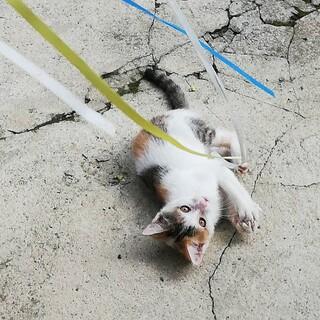 かわいい三毛猫●およそ三ヶ月●メス
