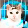 猫初心者向け♡7ヶ月♂白キジ甘えん坊シロ