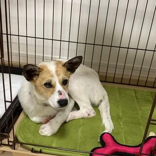 穏やか美人犬のベムちゃん4ヶ月♀