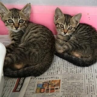 茶トラ、黒トラの3兄弟の保護猫