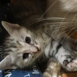 サバトラグレー♀ 生後1ヶ月
