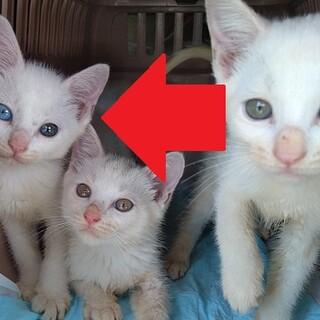 【募集一旦中止】白い子猫!(♂兄弟と母もいます)