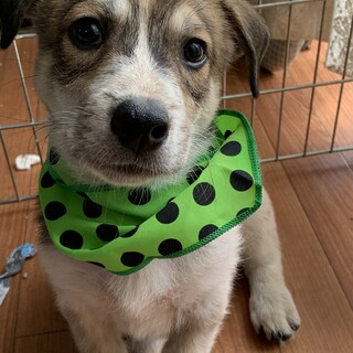 垂れ耳ビーグル模様の胴長短足の可愛い仔犬