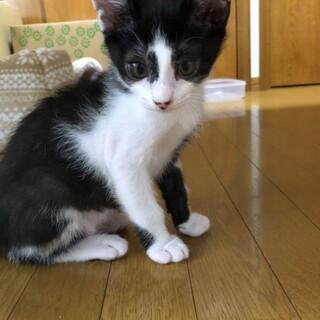 甘えん坊でお膝が大好きな白黒兄弟子猫