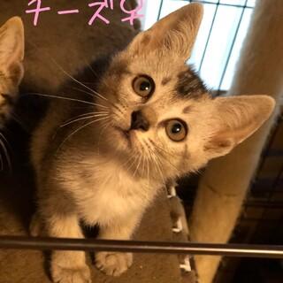 アビシニアン風シルバー子猫