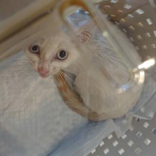しましまのしっぽがかわいい子猫のレイちゃん