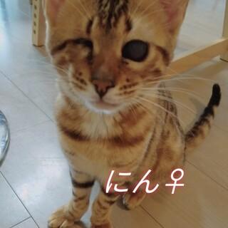 繁殖屋レスキュー、全盲ベンガル子猫