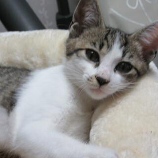 フレンドリーで可愛いい抱っこもできる元気な子猫