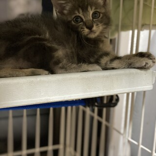 レアカラーブルー?とにかく可愛い子猫♀