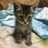 かわいいお顔のトラ猫さん