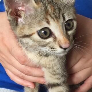 パッチリ目の元気な子猫姉妹の里親を急募致します。