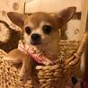 ネイビーちゃん スムースチワワ 女の子 3歳