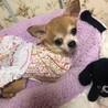 ネイビーちゃん スムースチワワ 女の子 3歳 サムネイル3