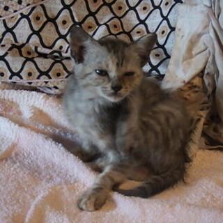 生後2か月、活発なサバトラ♂♀2匹 遠方可