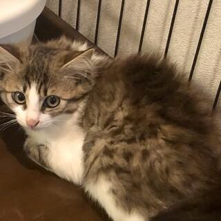 将来長毛になりそうな キジ白猫リリーちゃん