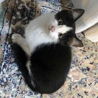 ハチワレ白黒猫 ランちゃん