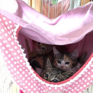 小さい子猫4兄妹 三毛 茶トラ キジ キジ白