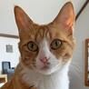 【動画】人馴れ抜群で超甘えたの茶トラ白猫